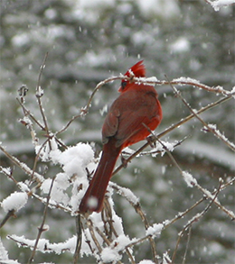 A cardinal sits on the snowy branches of a honeysuckle vine.