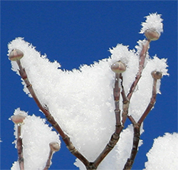 Flower buds of the native dogwood lie in wait under a coating of fresh snow.