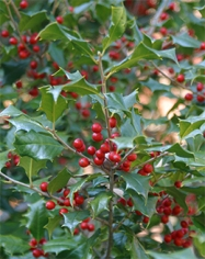 Ilex opaca 'Merry Christmas' is aptly named with its reliable profusion of red berries in fall and winter.