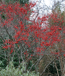 Ilex 'Sparkleberry' provides a brilliant splash of color in the winter garden.