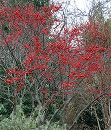 Ilex 'Sparkleberry' provides a brilliant splash of color in the winter garden.
