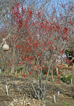 The bright red berries of Ilex verticillata brighten the winter landscape and provide a nutritious snack for the birds.