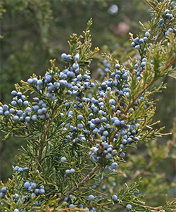 Colorful blue juniper berries are a treat for cedar waxwings!