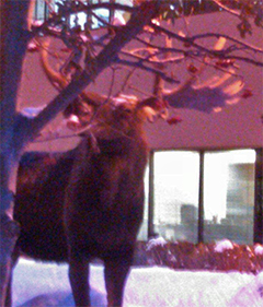 A bull moose enjoys a snack of mountainash berries in the middle of Anchorage, Alaska. Special thanks to Bill McDonald for the photo.