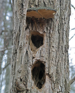 The elongated hole is typical of the Pileated Woodpecker. Notice the strategically placed holes! Do you think they were using the shelf fungus as an unbrella?