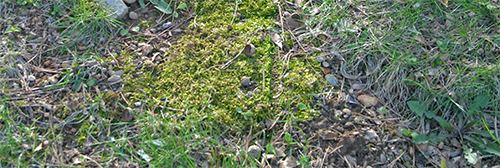 Moss growing in the lawn