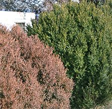 Such a contrast between boxwood species