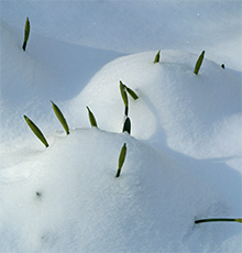 Daffodil flower stems poke out of mounds of soft snow.