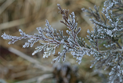 Hoar frost covers the scale-like needles of a cedar branch.