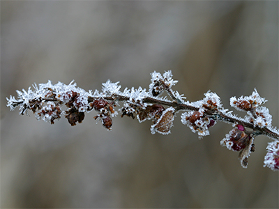 Frost covered an old flower stem