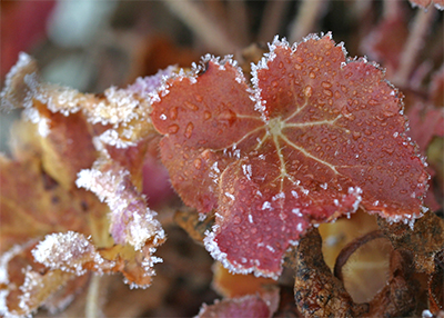 A colorful heuchera leaf is edged in white ice crystals.