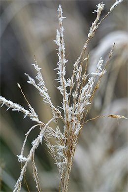 Miscanthus plume covered with delicate ice crystals.