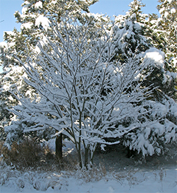 A beautiful snow covered redbud.