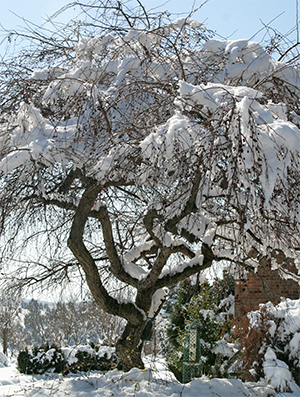 Andre's weeping crabapple has an interesting branching pattern that is accentuated by the snow cover.