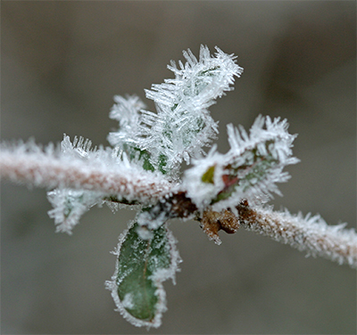A wild honeysuckle vine with needle-like ice crystals projecting from the leaves and stem