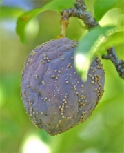 Brown rot on a plum