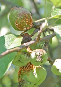 Cedar-apple rust infects some young apples