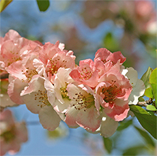 Flowering quince are great for forcing