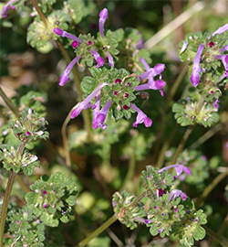 Henbit is a common winter annual that invades our lawns.