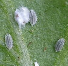Mealybugs on the underside of a basil leaf.