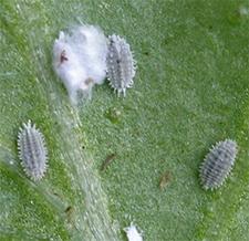 Mealybugs on the underside of a basil leaf.