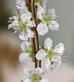 Snow white plum blooms