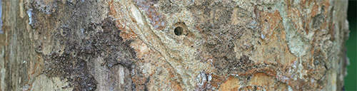 Bark beetle bore hole and larval galleries