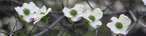 Beautiful dogwood blooms