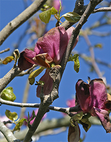 The flowers and new foliage of the deciduous magnolia were damaged by frost.