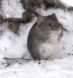 Voles can do a lot of damage to trees, shrubs, and perennials in the landscape.