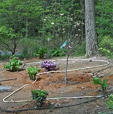 Newly planted dogwood.