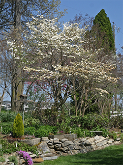 A beautiful dogwood growing in the sun in one of the Viette gardens.