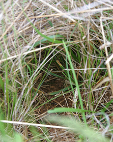 Cozy entrance to a meadow vole runway.