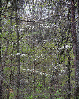 Airy layers of dogwood blooms brighten the spring woodland.