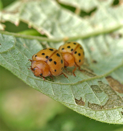 Mexican Bean Beetles can devastate a bean crop