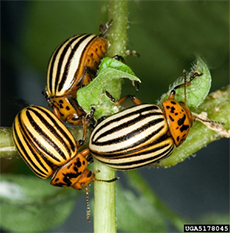 Colorado Potato Beetles can be devastating to potatoes and tomatoes.