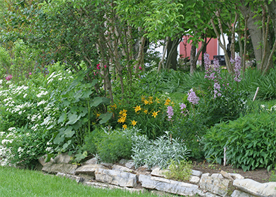Dictamnus combines well with other sun-loving perennials like daylilies, bush clematis, Coreopsis, Rudbeckia, and peonies.
