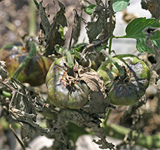 Some of the tomato blights can be reduced through crop rotation.