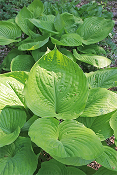 "The Hosta 'Sum and Substance' had huge leaves; many over 20"" long!"