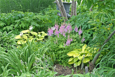 Colorful shade garden with Astilbe, hosta, and Japanese Anemone
