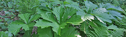 Rodgersia with huge leaves grow near the pond