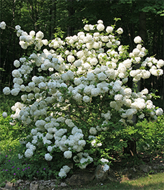 Leslie's Viburnum macrocephalum blooms in full glory this year!