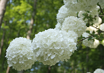 Big, beautiful blooms of Viburnum macrocephalum (Chinese snowball viburnum)