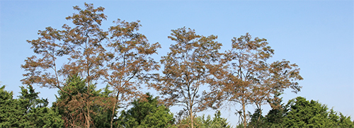 Black locust trees damaged by the locust leafminer