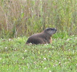 Woodchucks or groundhogs can ruin a vegetable garden in no time!