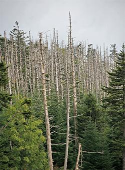 A fir graveyard