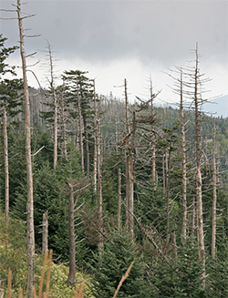 Dead Fraser firs stand among healthy young fir trees not yet attacked by the balsam woolly adelgid.