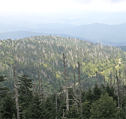 An nearby mountaintop is covered with dead Fraser firs