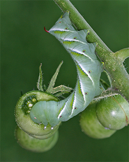 A hungry tobacco hornworm munches on a tomato.