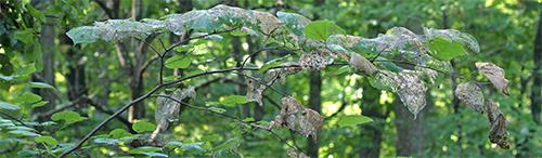 Webworm infested redbud branch